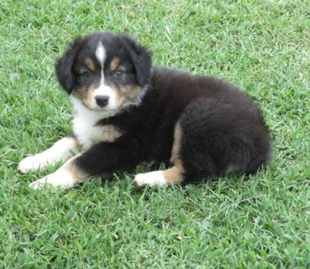 Dally's Puppies (Sold)*